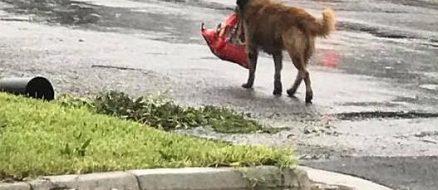 Looting dog Otis takes advantage of Hurricane Harvey to score kibble