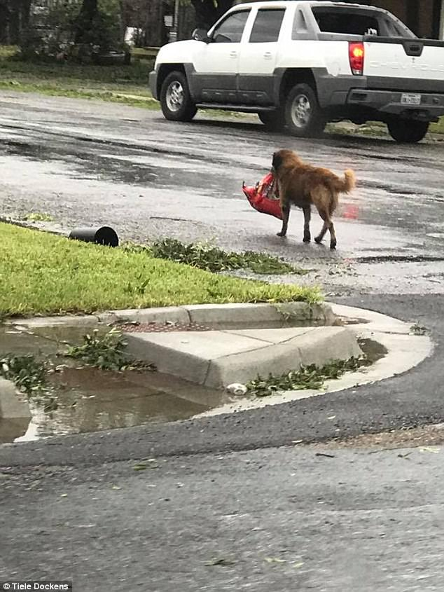 Otis Hurricane harvey dog looter