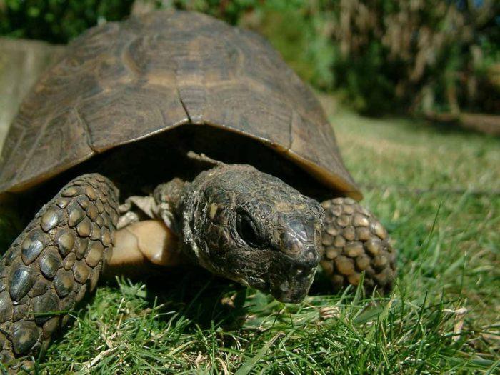 Silverstone Tortoise inheritance