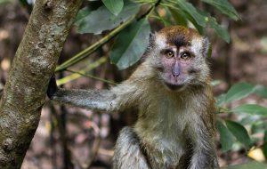 monkey macaques bali
