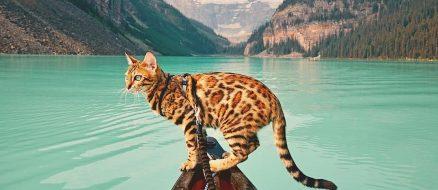 The Instagram adventures of Suki the bengal cat
