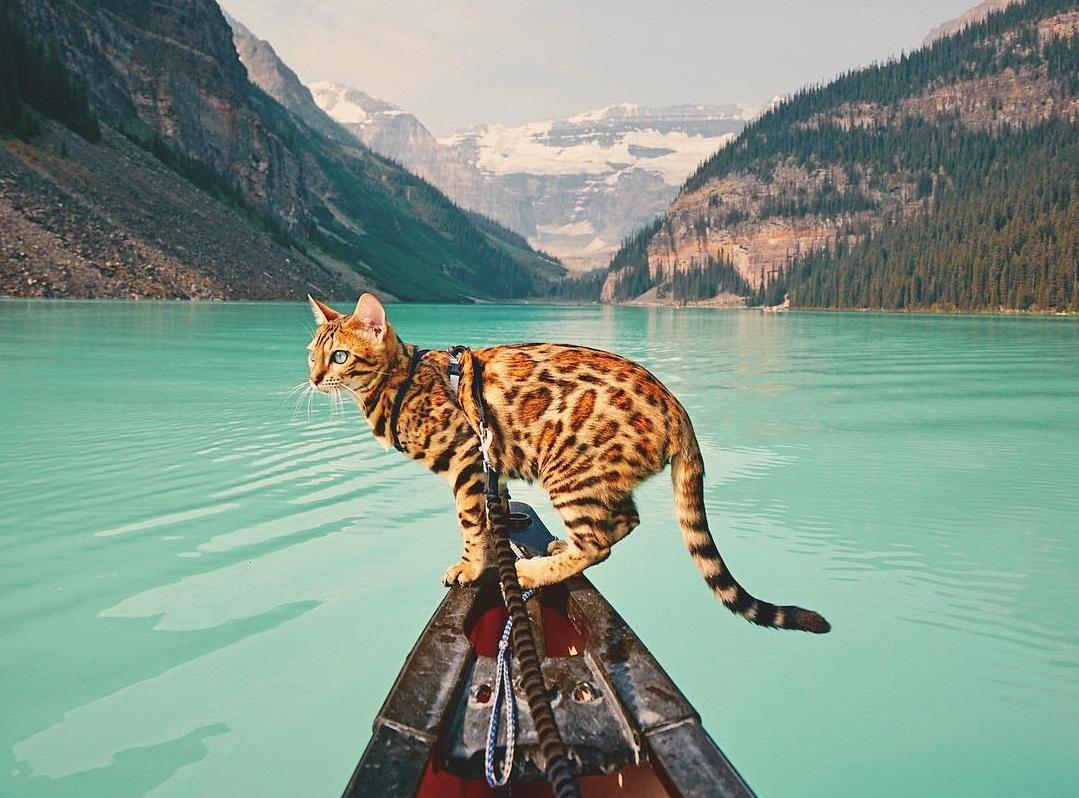 @sukkicat the adventure bengal cat