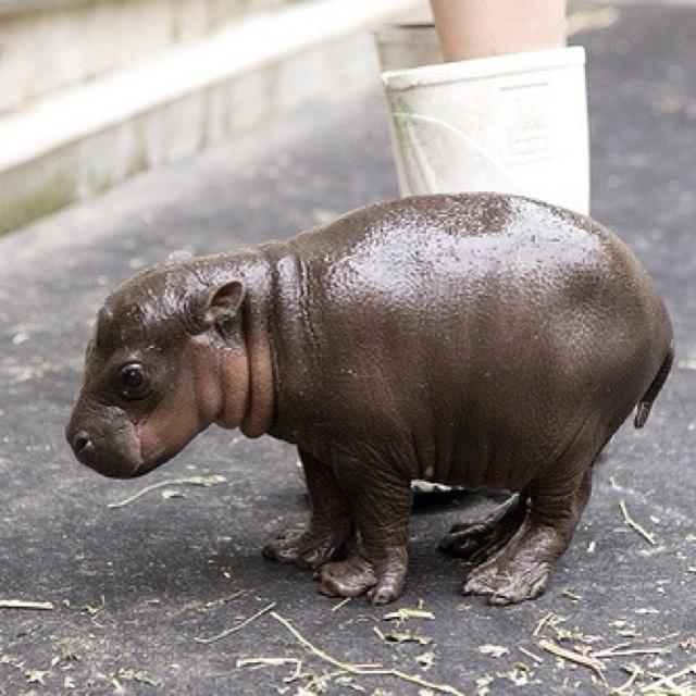 baby pygmy hippo president