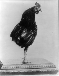 rooster roosevelt president pet