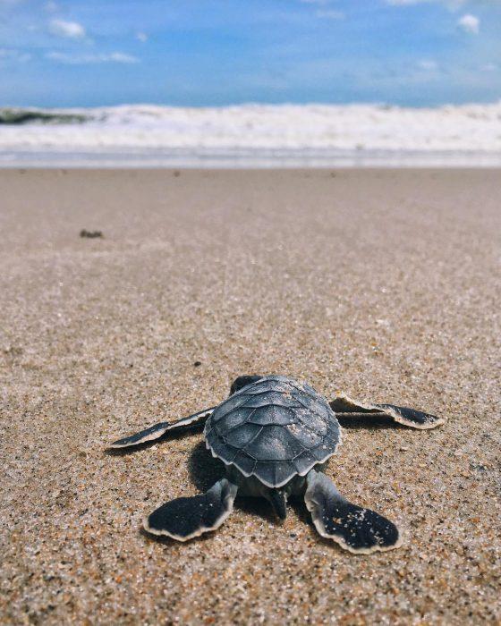sea turtle baby endangered poacher