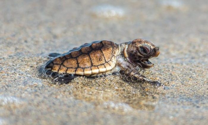 seaturtle baby endangered