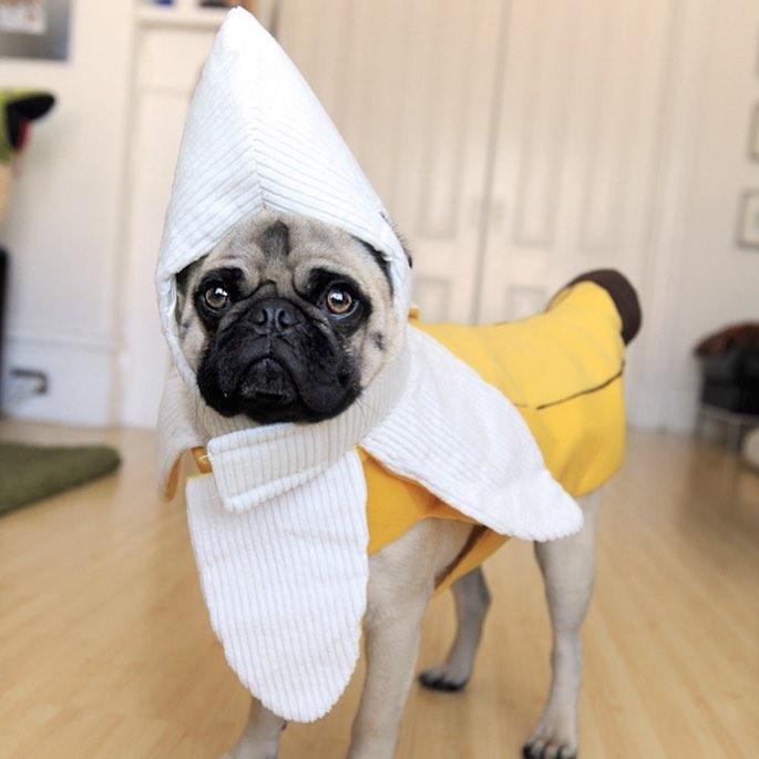 Pug halloween costume dog