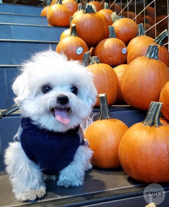 maltese puppy adopt