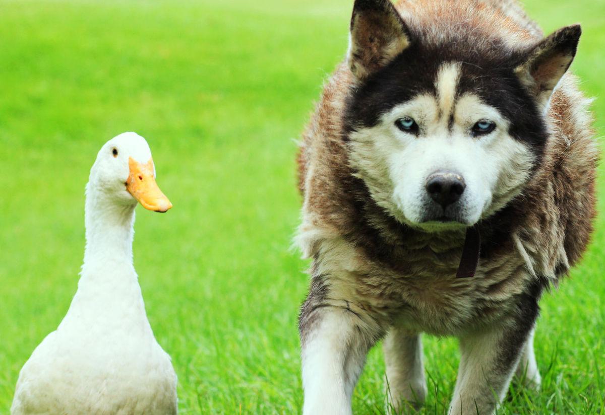 Max Quackers Dog Duck