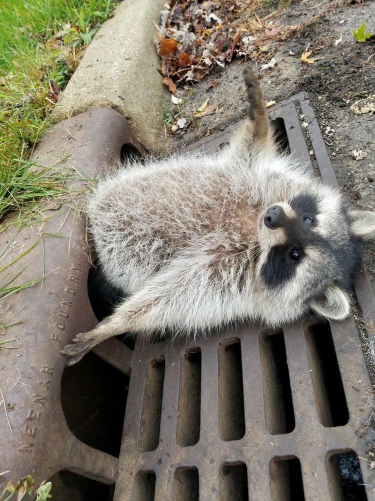 chubby raccoon drain