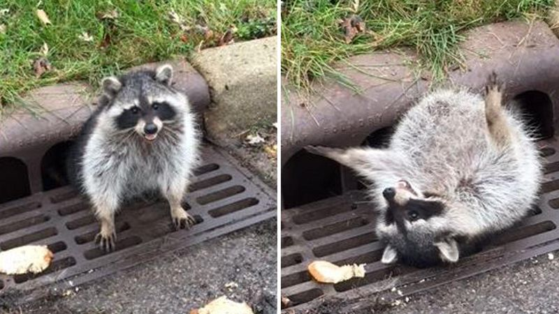 chubby raccoon stuck