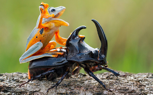 frog beetle ride