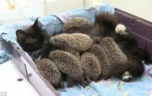 hedgehog cat adopt