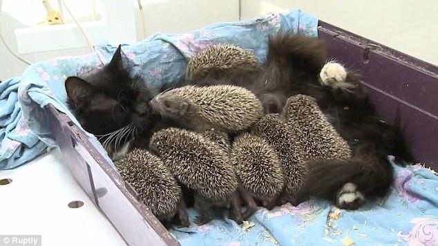 hedgehog cat adopt