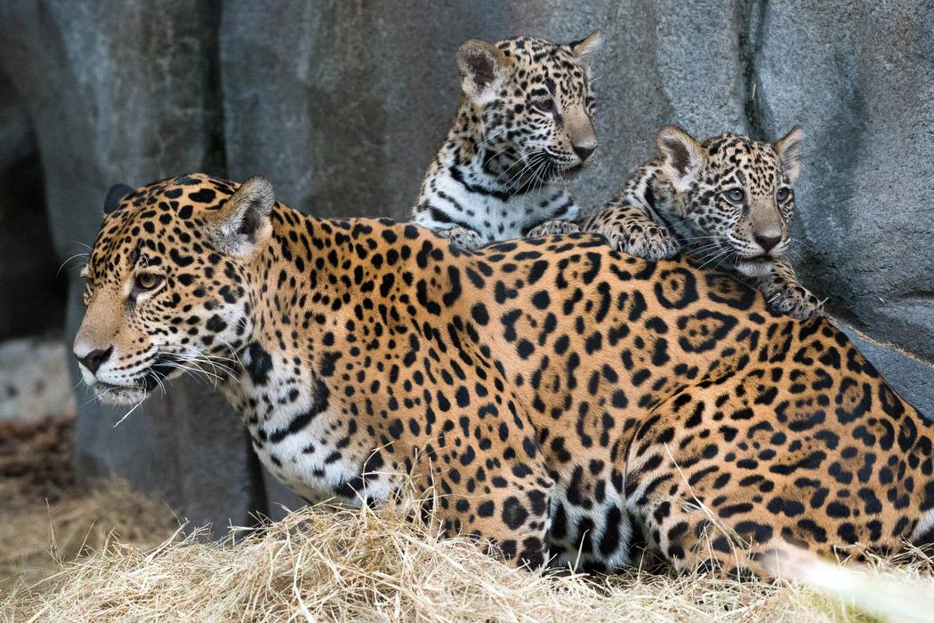 jaguar cubs fitz emma