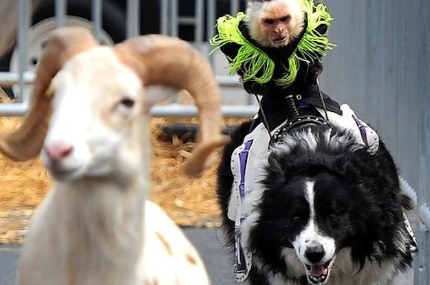 monkey riding dog