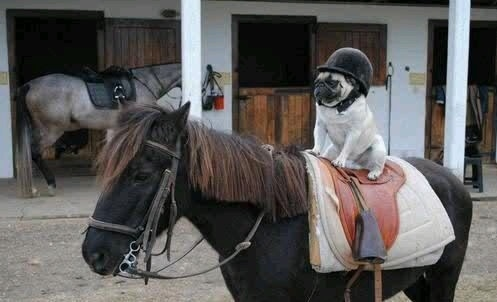 pug horse ride