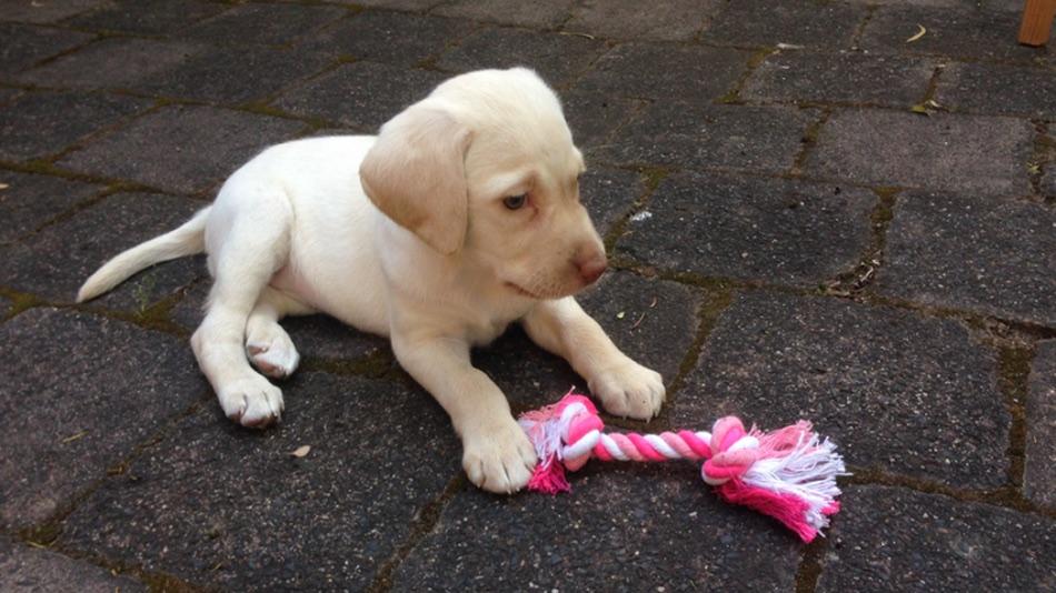stolen puppy Sasha australia