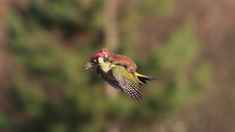 woodpecker weasel ride