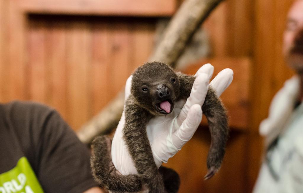AWSF zoo sloth baby