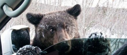 Bear goes for joyride in stolen SUV, crashes and trashes vehicle