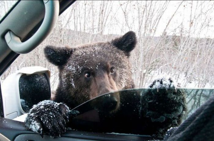 bear car window