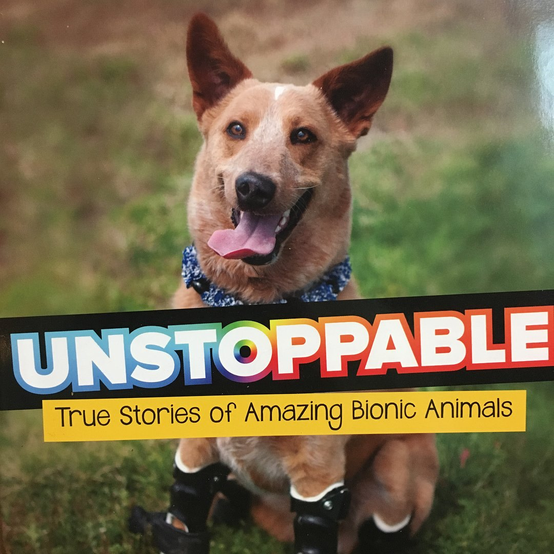 unstoppable Better Paws for Brutus amputee Rottweiler