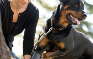 Better Paws for Brutus amputee Rottweiler