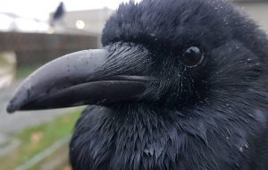 @Canuck_and_i crow