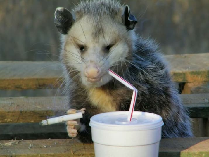 drunk possum