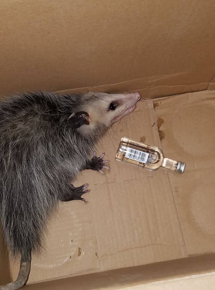 drunk possum florida