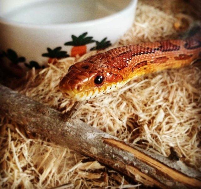 spaghetti snake sean
