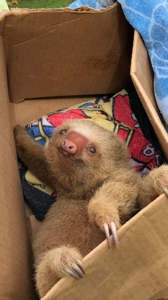sloth baby rescue costa rica