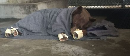 Two bears and a mountain lion treated for burns with fish-skin bandages