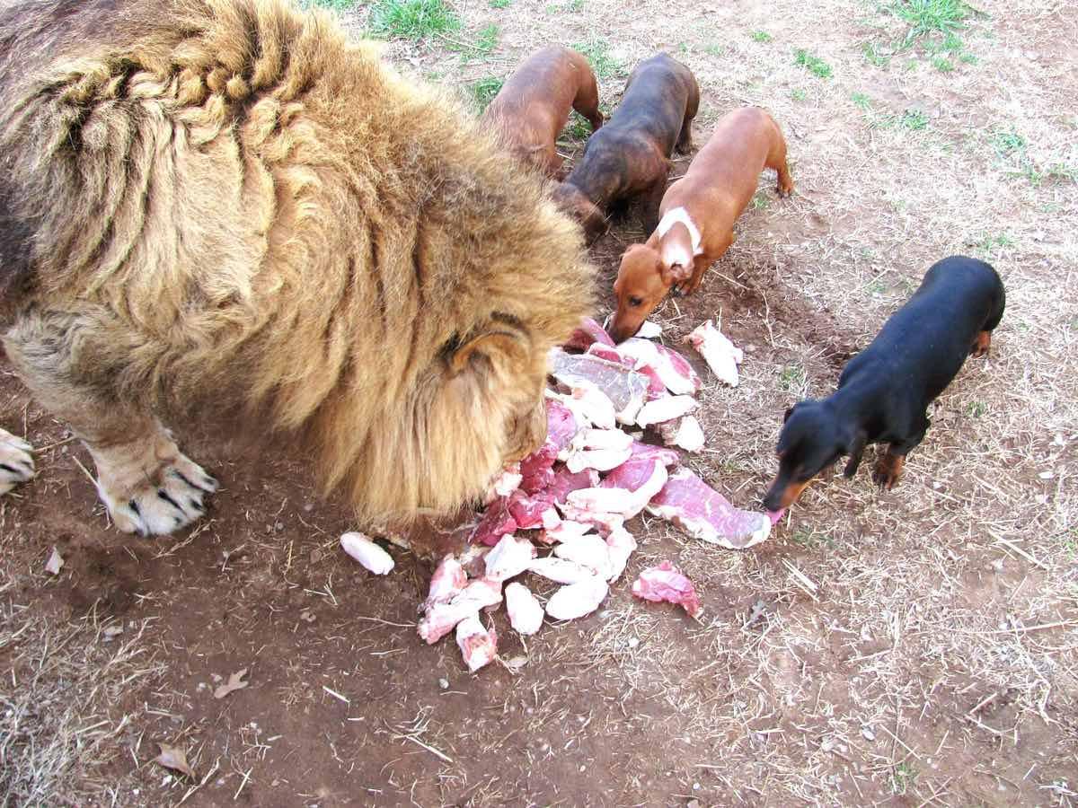 Milo Bonedigger lion dog friendship