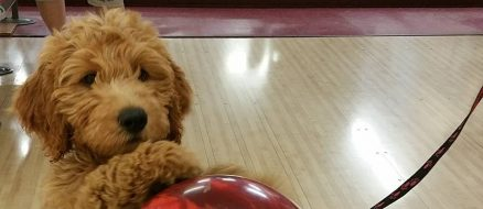 Blake the Goldendoodle Can Bowl You Under The Table