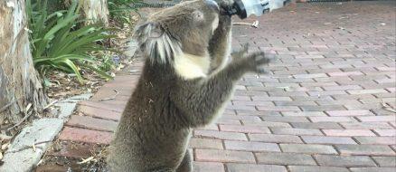 Australia's so hot right now even the Koala's are feeling it