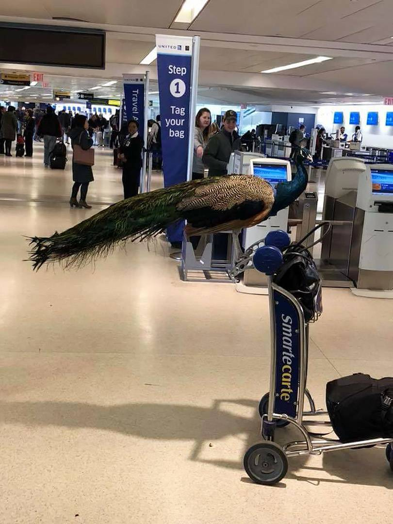 peacock united airlines dexter