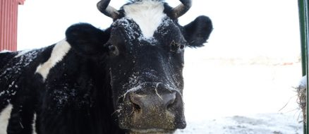 Cow Frolicking Through Snow Wins At Winter
