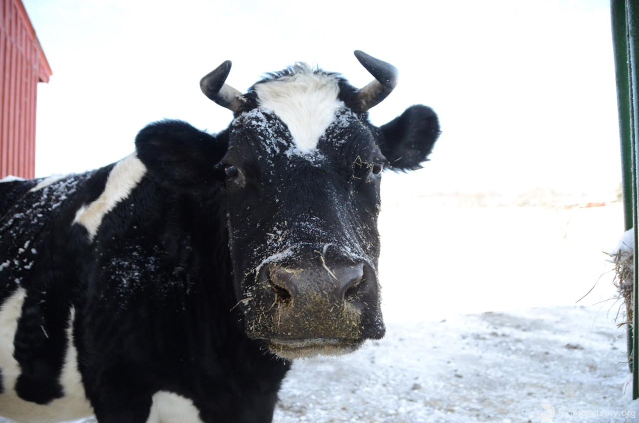 diane cow winter
