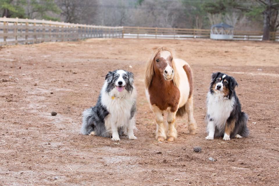 lil ben rescue mini horse