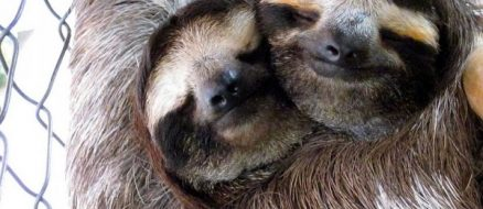Beardsley Zoo Sloth Gets a Valentine Date
