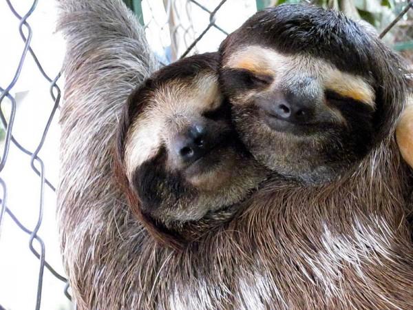 sloths in love