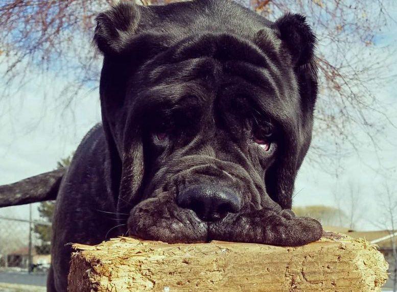 Worlds Biggest Dog American Molossus Celebrity Pet Worth