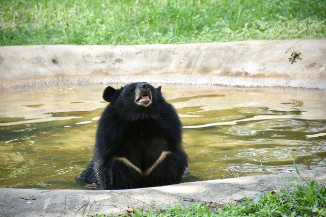 joy asiatic black bear rescue