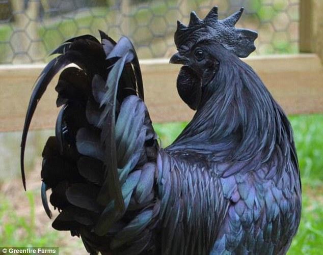 ayam cemani goth chicken