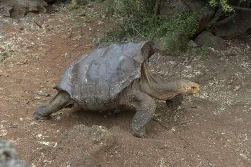 diego tortoise sex