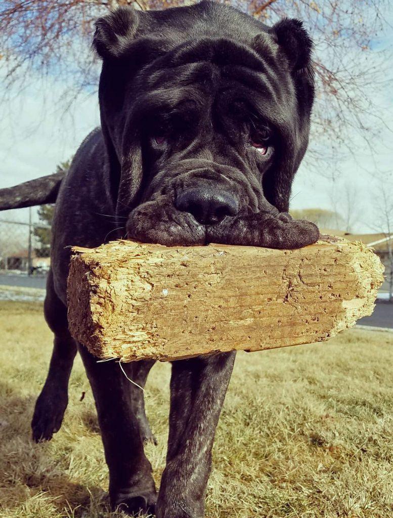worlds biggest dog american molossus