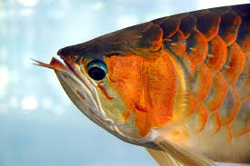 asian arowana plastic surgery