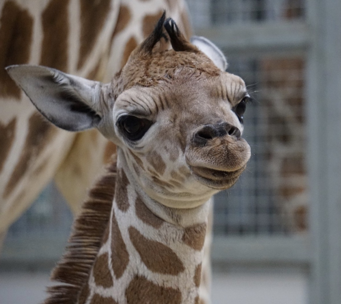thabisa escaped giraffe zoo